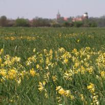Wiesen-Primel (Primula veris) - Pflanze des Jahres 2016 (Foto: Thomas Krauss)